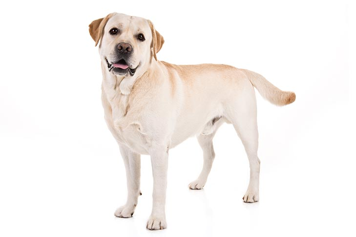 The Labrador Retriever Breed Standard